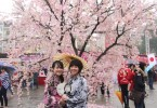 Hanoi set to take bloom with Japanese cherry trees